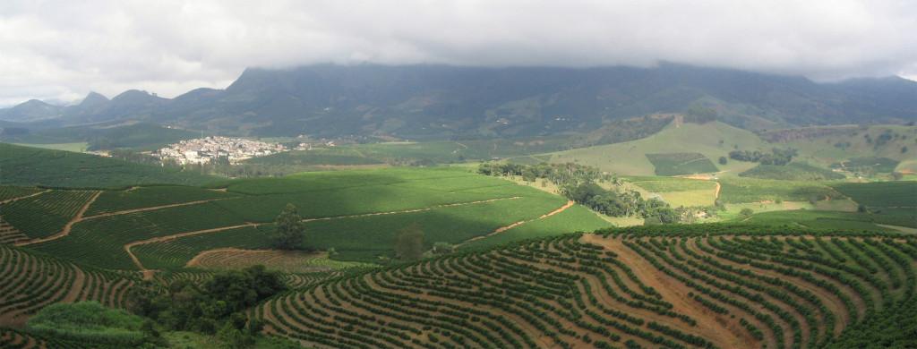 A coffee arabica plantation in Brazil. Source: Wikipedia