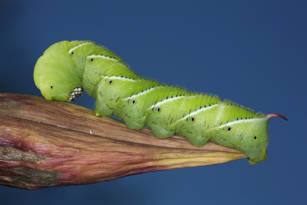 Caterpillar Coloor